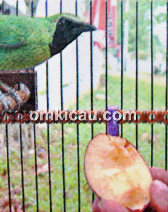 Buah pear untuk cucak hijau tarakan
