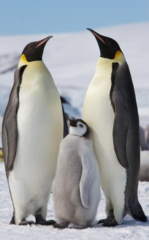 Burung penguin kaisar