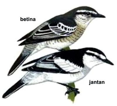 Sexing burung kapasan kemiri