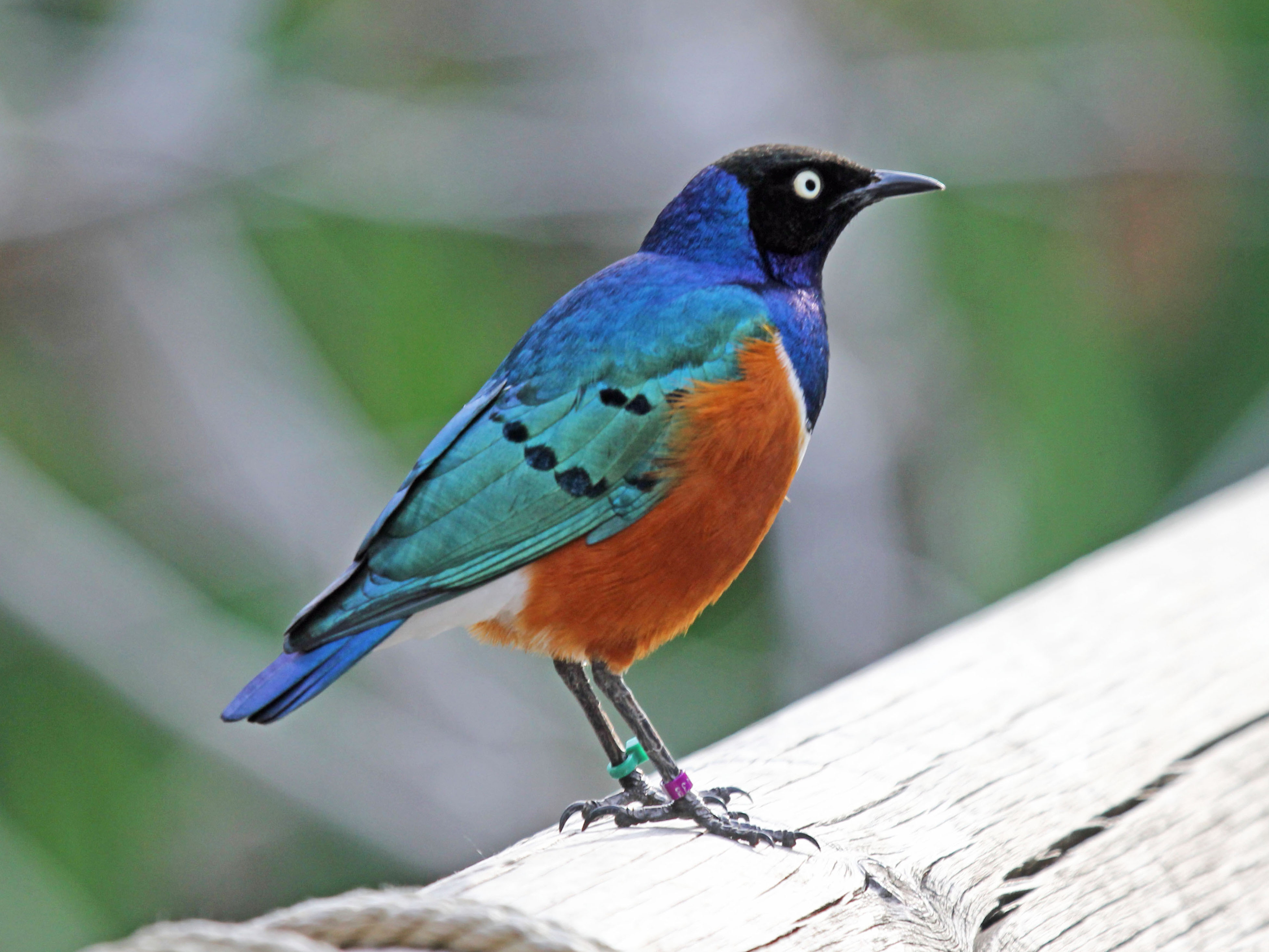 Superb starling : Kicauannya ngeroll seperti jalak suren