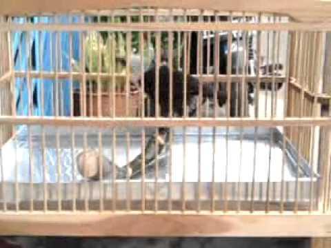 Tenggeran melengkung untuk melatih burung mandi karamba