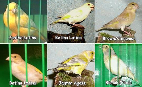 Ragam warna yang bisa dicetak dari persilangan greenfinch dengan burung jenis lain