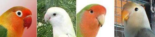 Warna pada paruh yang berbeda pada tiap jenis atau spesies