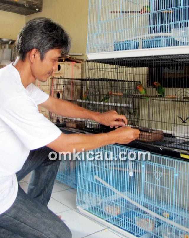 Yusbani, breeder lovebird