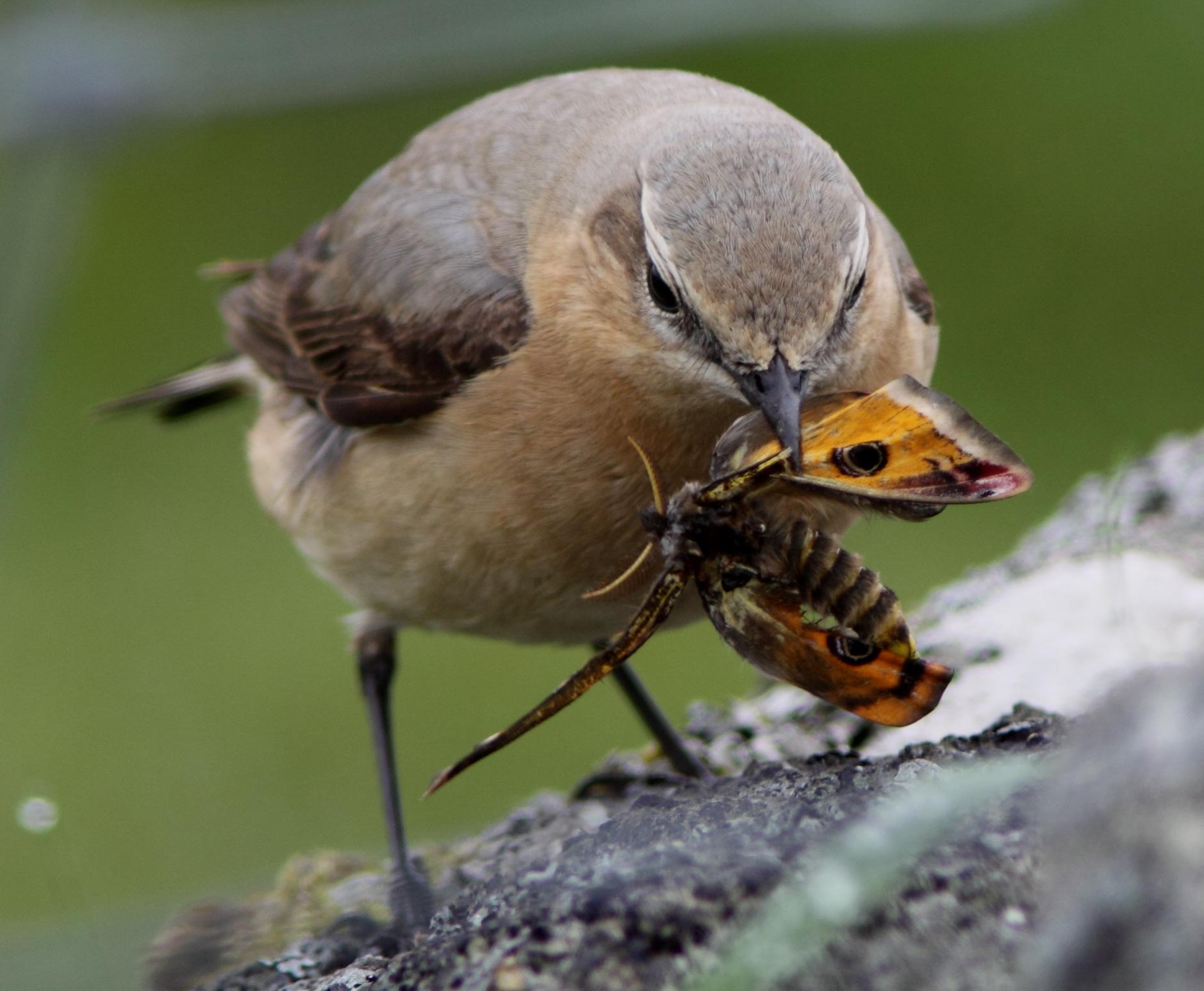 Burung yang memangsa ngegat kaisat ( emperror moth )