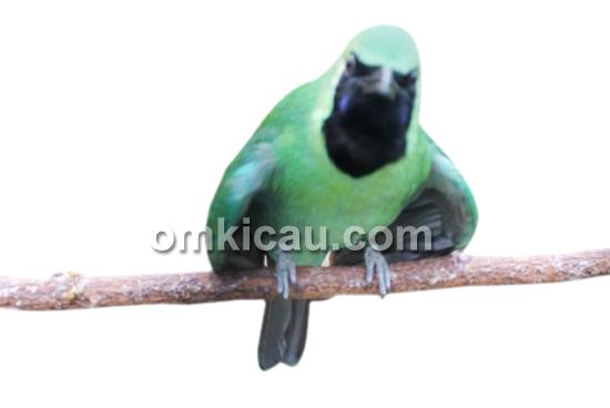 Cucak hijau Bromo