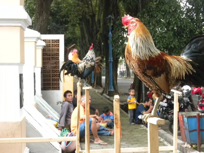 Mempersiapkan ayam ketawa untuk kontes