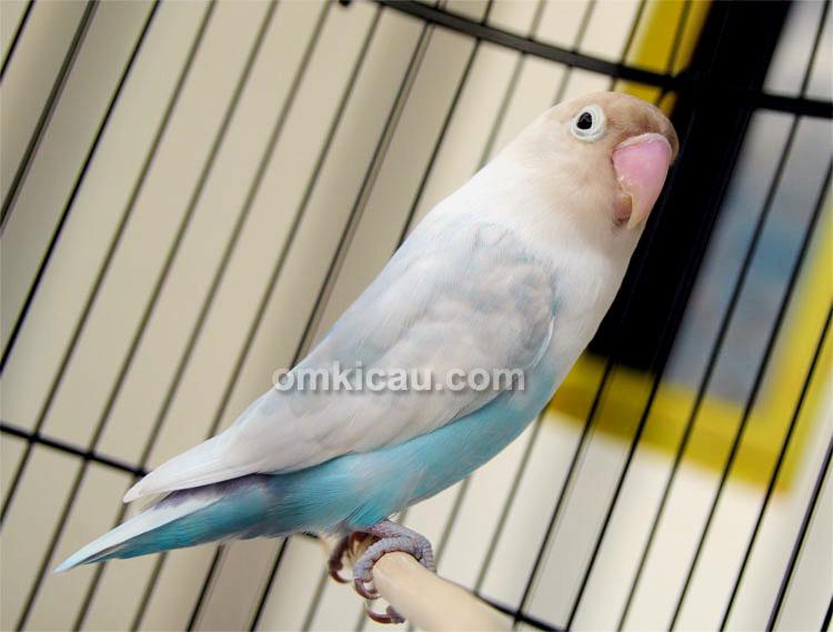 Lovebird Blue Reg