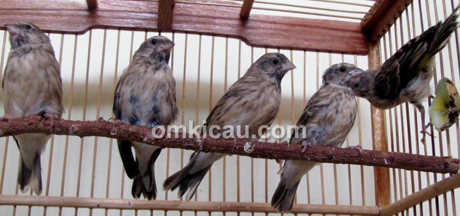 Induk betina blackthroat