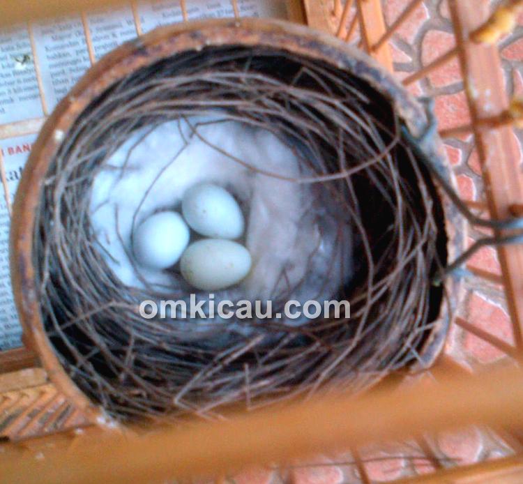 Telur burung blackthroat