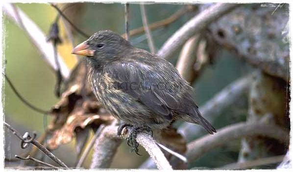 Finch vampire (Geospiza difficilis septentrionalis)