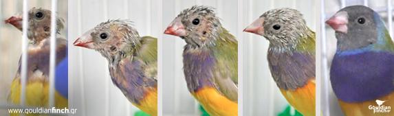 Dengan pemberian iodium yang terdapat pada BirdMineral burung yang botak dalam waktu 6 minggu sudah kembali pulih