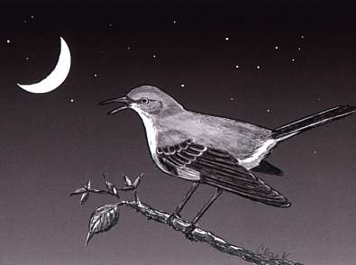 Mockingbird menyukai berkicau tengah malam