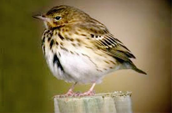 burung pilek1