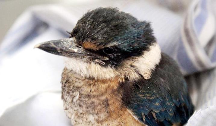burung pilek