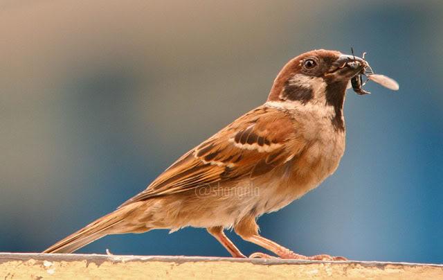 Burung gereja makan tawon