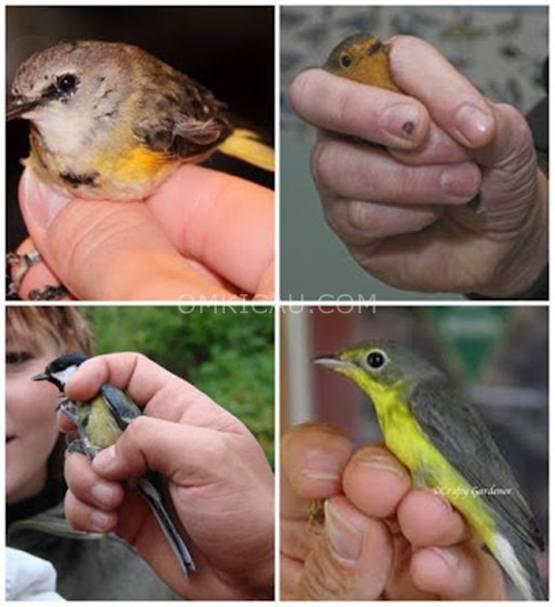 Beberapa cara memegang burung dengan tepat