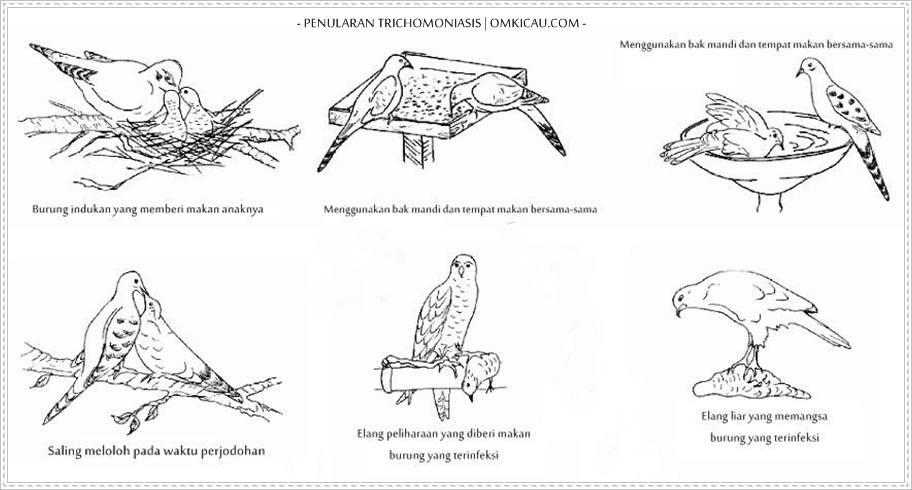 Cara penularan parasit yang terjadi pada burung merpati