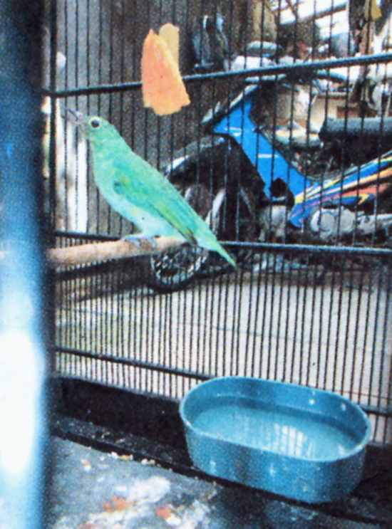 cepuk mandi cucak hijau