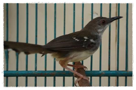 Pola rawatan yang tepat , ketersediaan EF bisa menjadikan burung terhindar dari stress penyebab macet bunyi