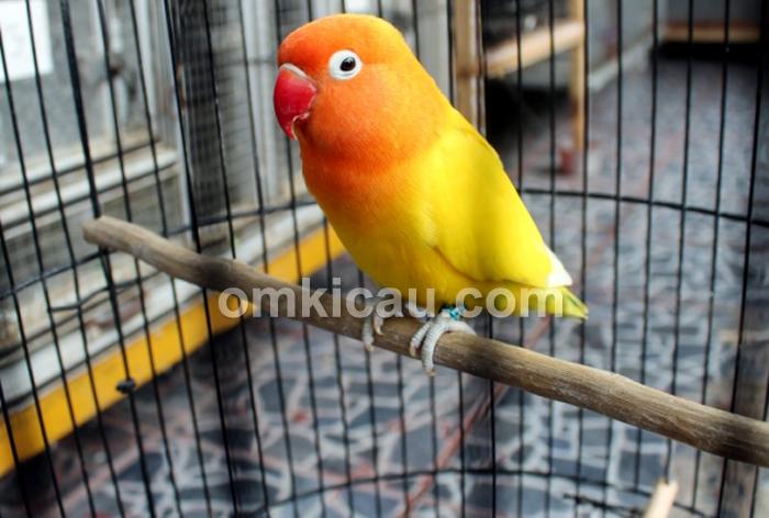 Lovebird Galada Sorkam