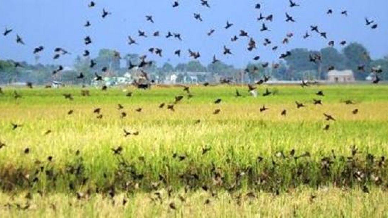 Jengkol Bisa Dimanfaatkan Untuk Mengusir Hama Burung Emprit Di Sawah Om Kicau