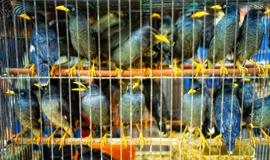 Cermat dalam pemilihan burung bakalan yang bisa dibuat jinak dan rajin bunyi terutama dari segi usia