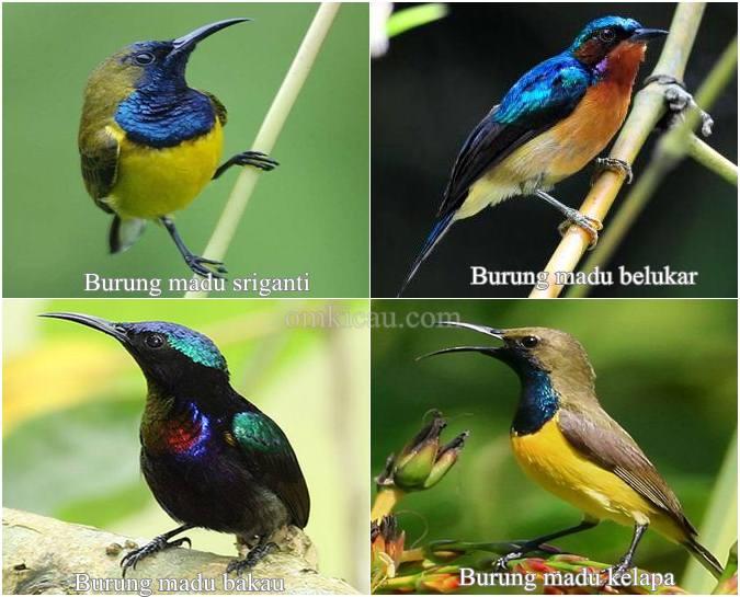 Jenis burung madu yang banyak dipelihara penggemar burung di Indonesia