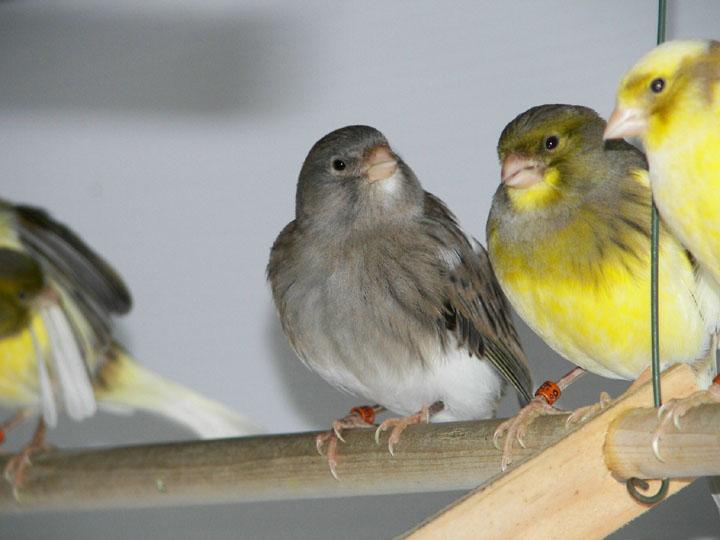 Kenari banyak dikembang biakan untuk di kawin silangkan dengan jenis burung lainnya
