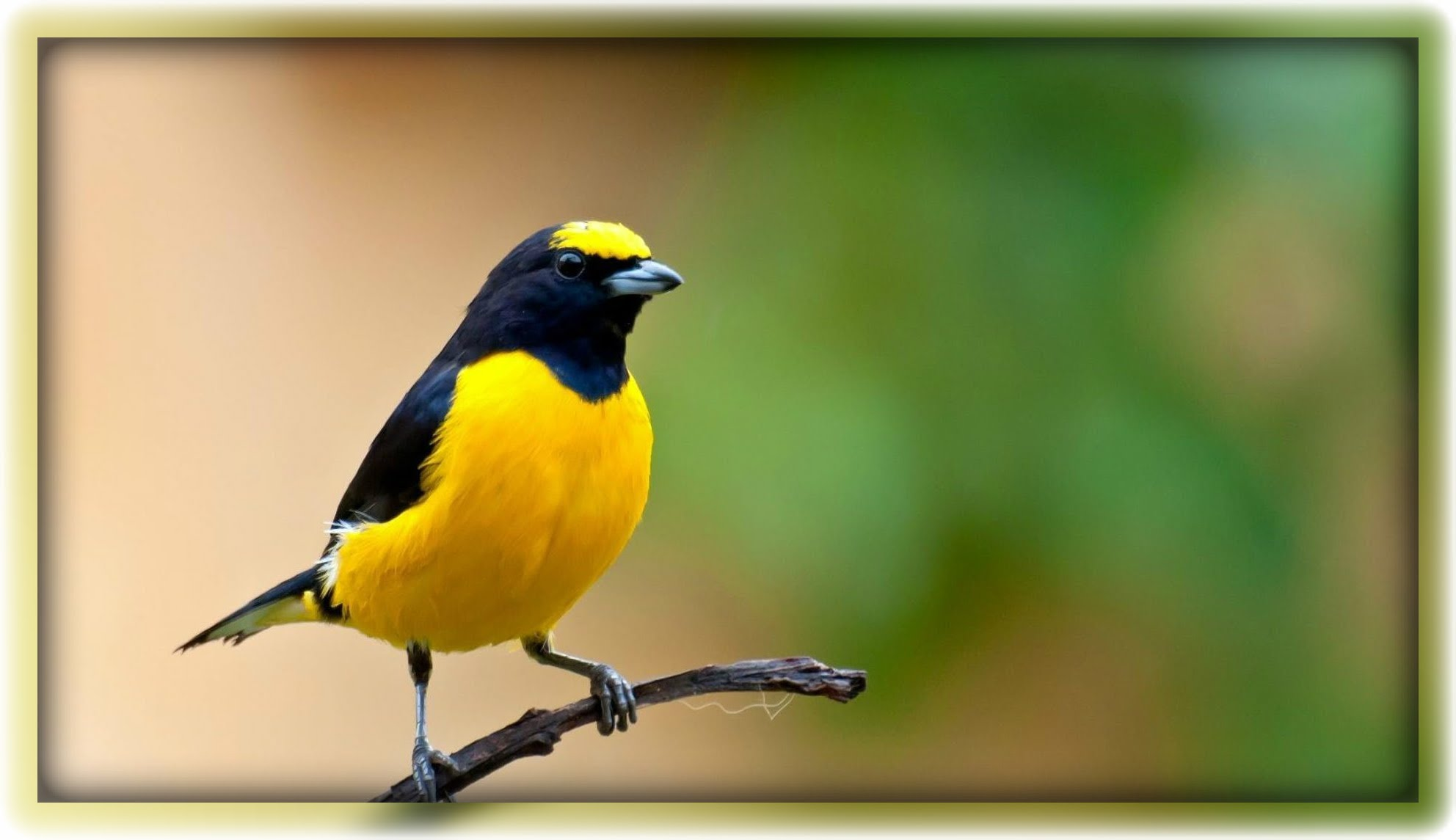 Download suara burung unik untuk masteran