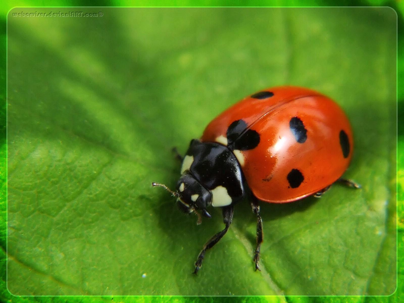 Kumbang kepik atau kumbang koksi