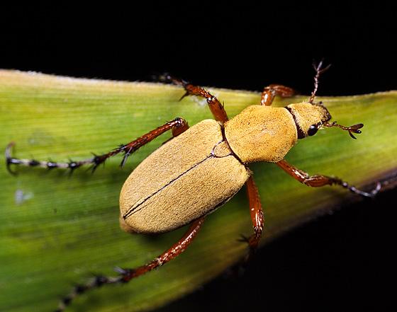 Kumbang mawar atau rose beetle