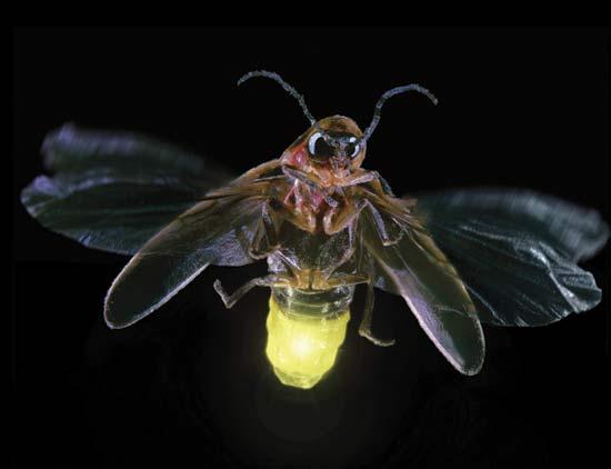 Kunang - kunang sangat beracun bagi burung