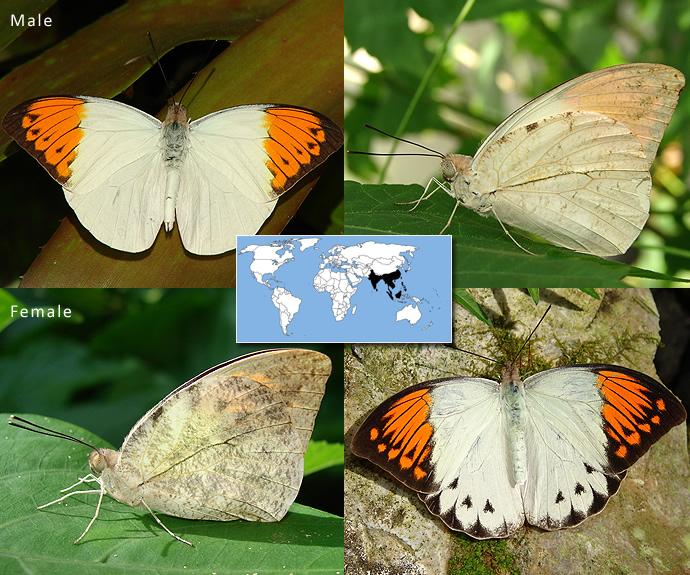 Kupu kupu beracun
