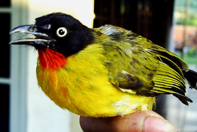 Perawatan Burung Kutilang Emas Cucak Kuning Om Kicau