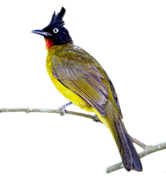 Burung kutilang emas