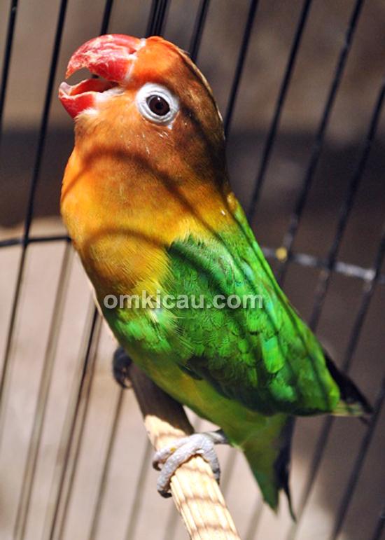 Lovebird Suwing