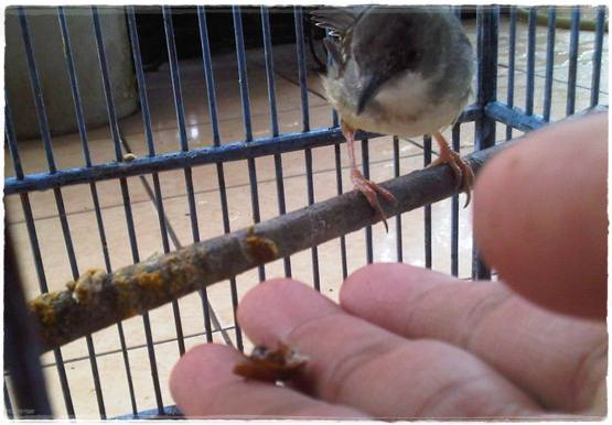 menjinakkan burung