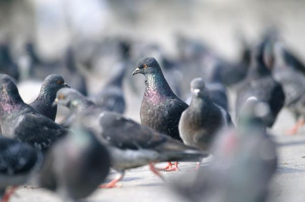 Meski sudah sembuh, burung dewasa akan tetap menjadi inang dari parasit trichomonas ini