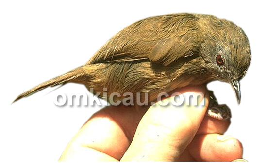 Burung mini hwamei