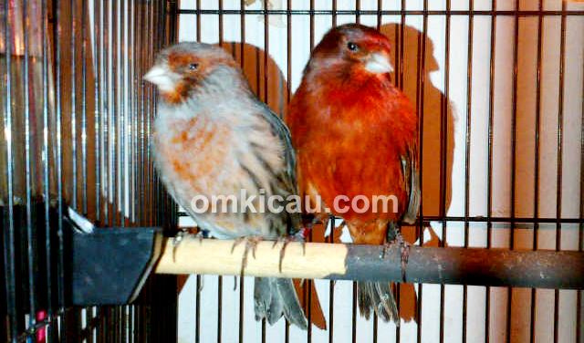 Canary Black Red