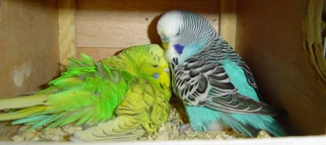 Menangkarkan sepasang burung parkit bisa dilakukan dengan mengenali kondisi burung