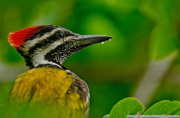 Permintaan yang tinggi terhadap pelatuk bawang untuk tujuan ritual membuat burung ini semakin sulit ditemukan