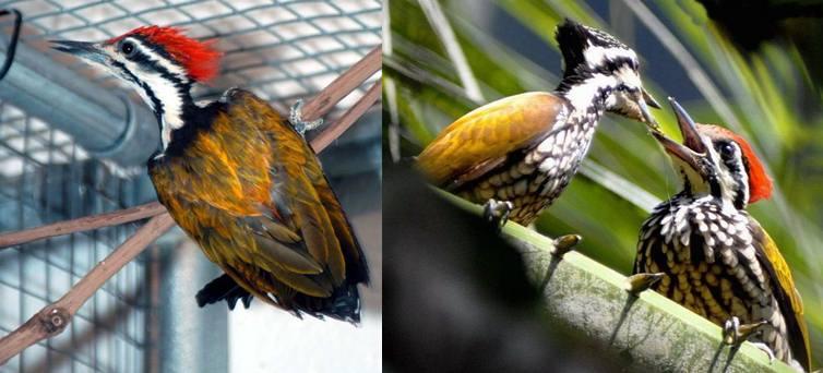 Burung pelatuk bawang yang sedang ditangkarkan dan gambar indukan sedang meloloh anaknya