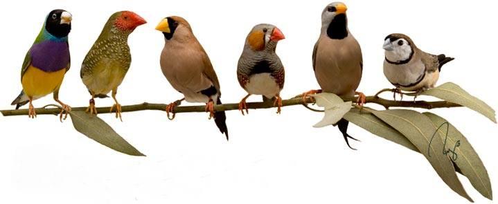 Ragam jenis burung finch populer