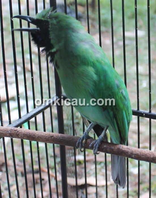 Cucak hijau Mr Granat