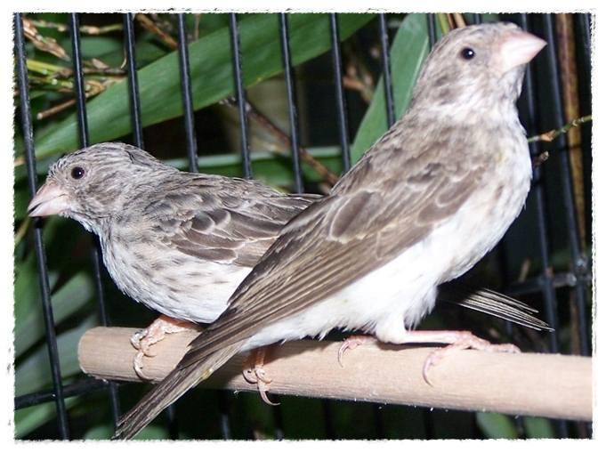 Sepasang burung sanger yang sudah berjodoh dan siap ditangkarkan