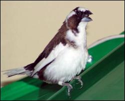 Gaya tarian burung jantan sewaktu berbunyi