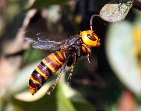 Tawon hornet atau Asian hornet