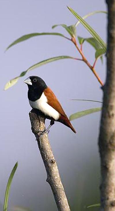 Burung bondol rawa